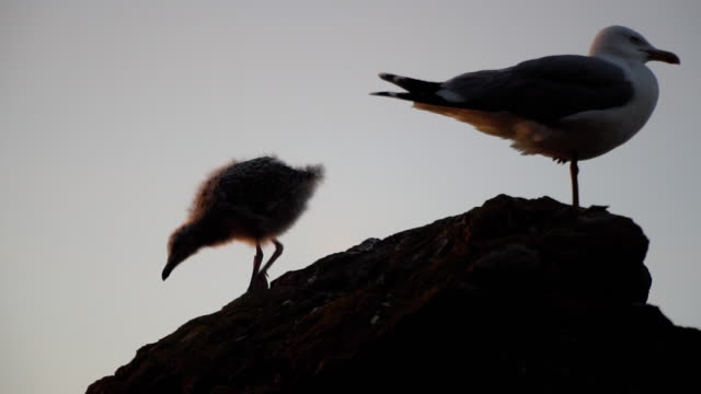 Seagull Chick with Mother Seagull in Slow Motion