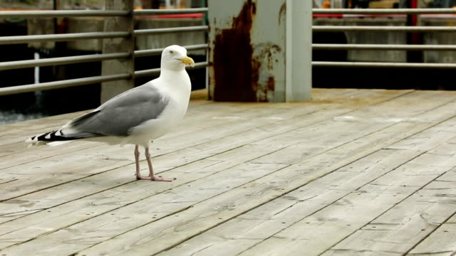 Seagull eating human food next to restaurant, Norway Seagull eating human food next to restaurant in Norway seagull stock videos & royalty-free footage