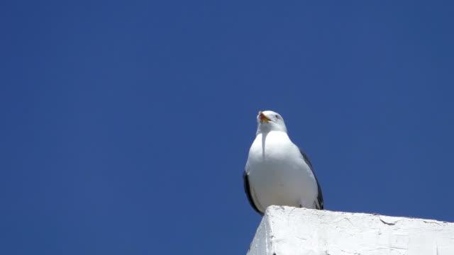 Seagull ハエの距離 ビデオ
