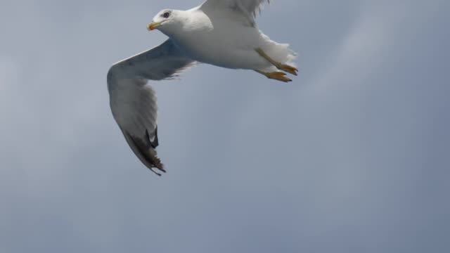 Seagull Fly Close Up - video