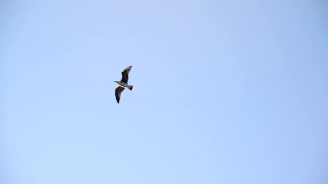 Seagull flying across the sky Seagull flying across the sky seagull stock videos & royalty-free footage