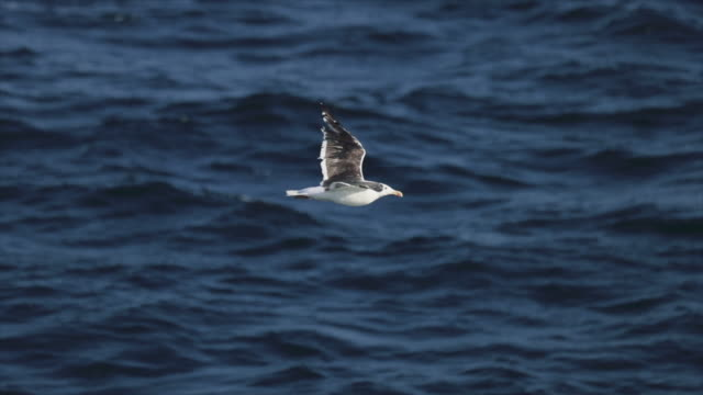 Seagull flying in North Sea: slow motion Seagull flying in North Sea: slow motion sea life stock videos & royalty-free footage