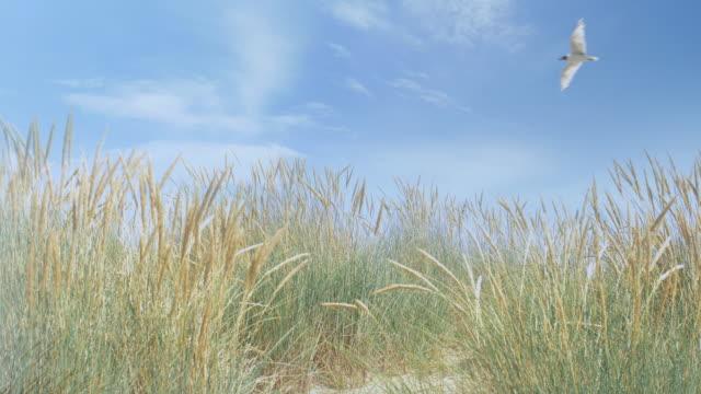 seagull flying over marram grass. ds. - uccello acquatico video stock e b–roll