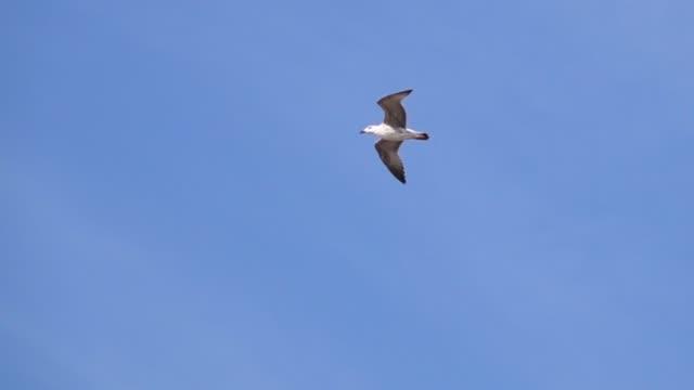 슬로우 모션으로 바다 위로 비행 하는 갈매기 - 하늘을 나는 새 스톡 비디오 및 b-롤 화면