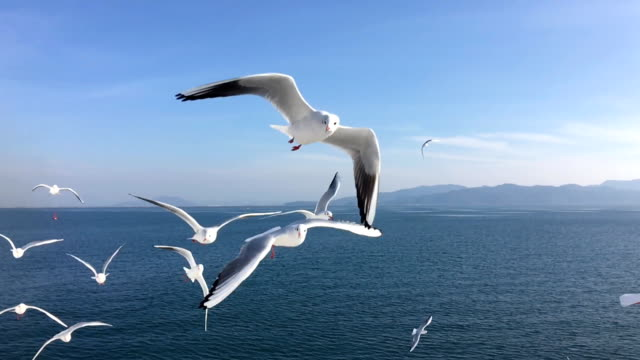 Seagull flying slow motion Seagull flying slow motion Kumamoto harbor,Japan seagull stock videos & royalty-free footage