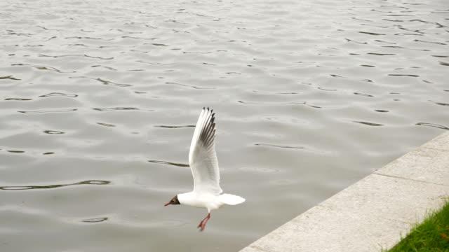 カモメの飛行 - スローモーション 180 fps - プリエネ点の映像素材/bロール