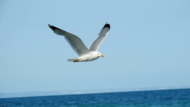 Seagull flying video