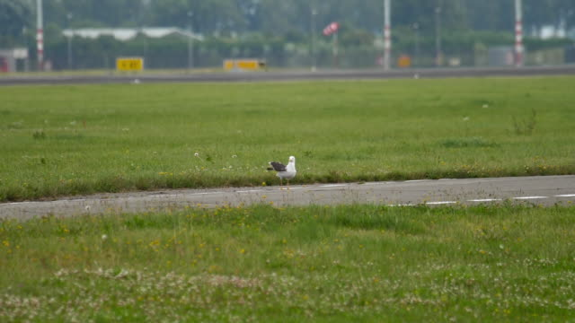 stockvideo's en b-roll-footage met seagull in amsterdam luchthaven - schiphol