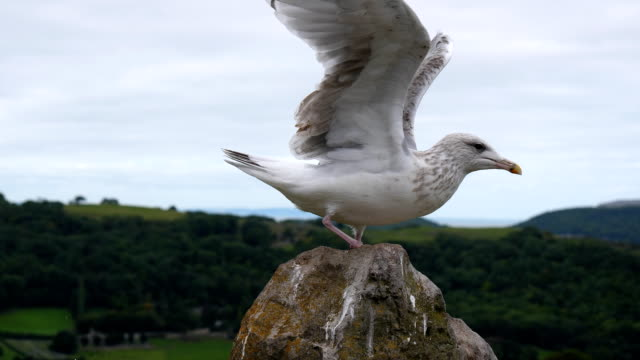 Bидео Seagull landing on a stone slow motion