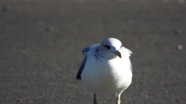 Seagull on Pavement video