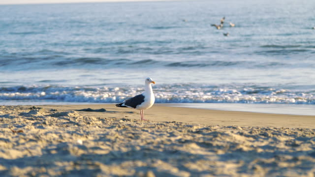 4k 慢動作在海灘上的海鷗 - 海鷗 個影片檔及 b 捲影像