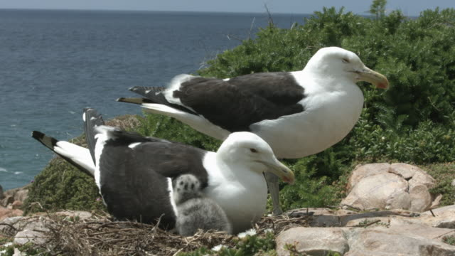 Seagull parents with two chicks