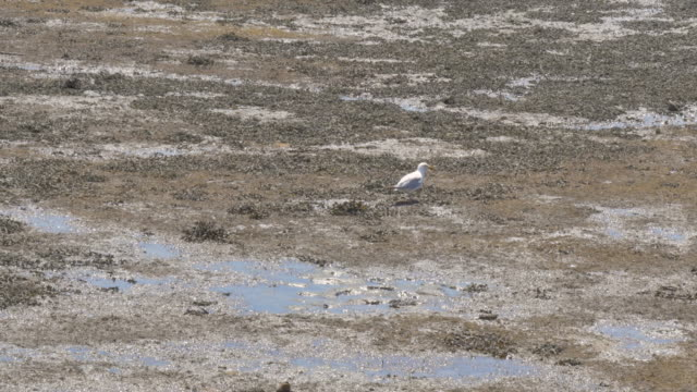 Seagull searching for food on the low tide beach video