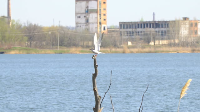 Seagull sitting on a dry tree video