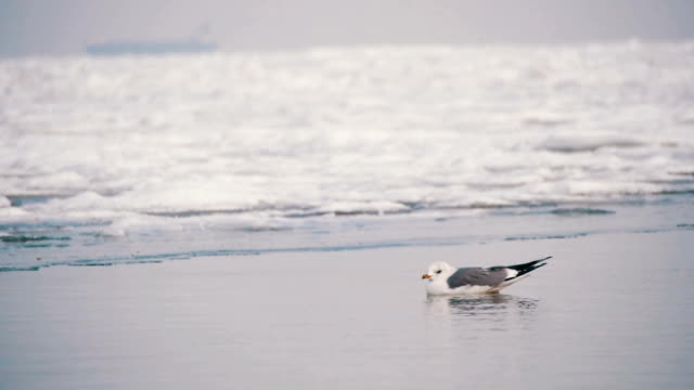 seagull sitting on the frozen ice-covered sea - sussex occidentale video stock e b–roll