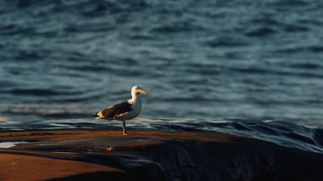 A seagull stands in the early morning light on a reef formation as the ocean waves break in the background. video