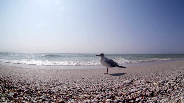 Seagull stands on the beach with sea in the background video