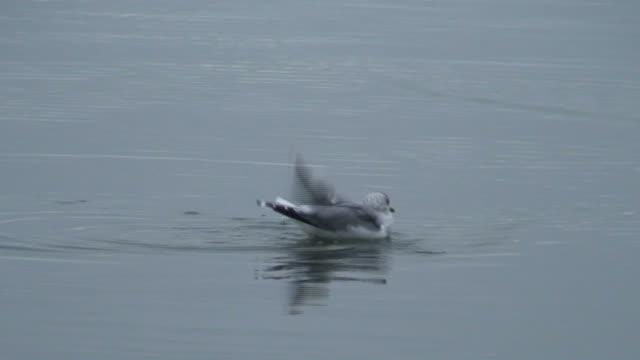vídeos y material grabado en eventos de stock de gaviota de natación en agua (hd 1080 i/50 - parte del cuerpo animal