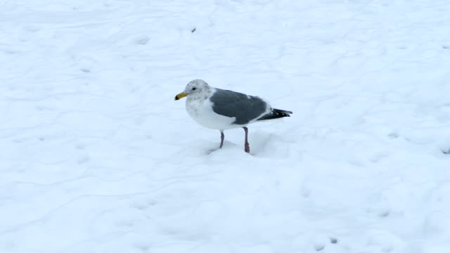 Seagull Walking In The Snow video