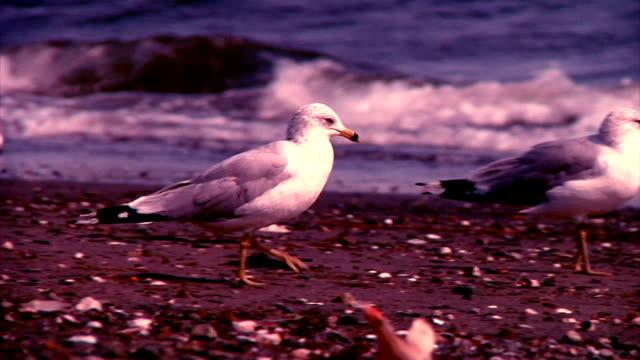 Seagull Walking video