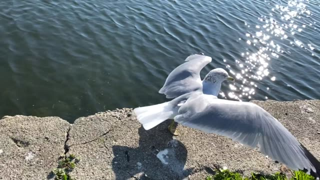 Seagull walking with flapping wings