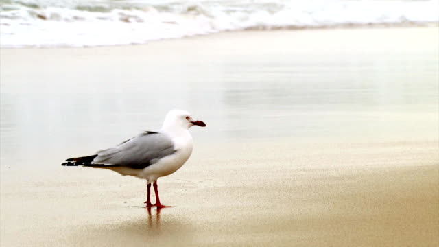 Seagull - walks away (1080p) Seagull on beach walks away. seagull stock videos & royalty-free footage