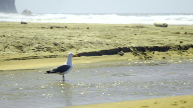 Seagull walks in water video