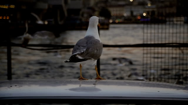 seagulls are sitting on the car. city of istanbul - antenna parte del corpo animale video stock e b–roll