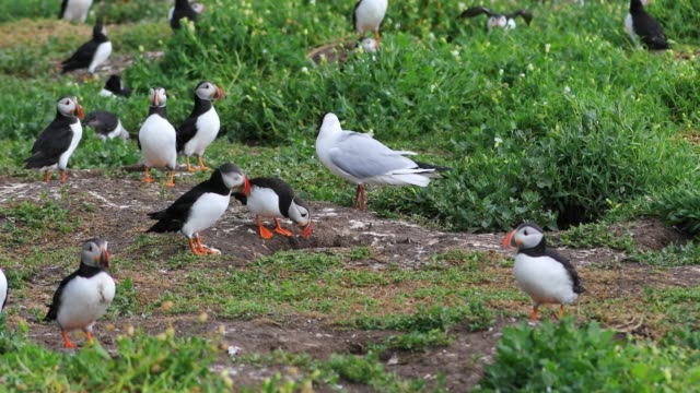 Seagulls are waiting for puffins coming back with their fish haul and are chasing them to take their fish away.