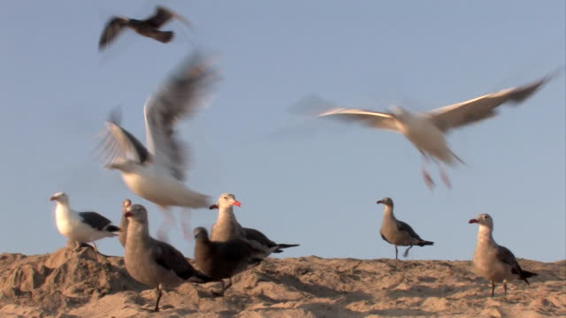 Seagulls at the Beach A flock of seagulls taking flight from the sand.  scavenging stock videos & royalty-free footage