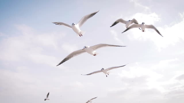 Seagulls catching pieces of bread in flight, slow motion