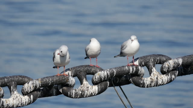 Seagulls clean it's feathers. video