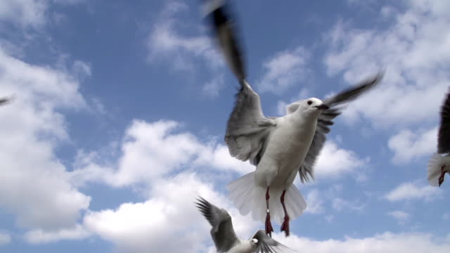 Seagulls flying in slow motion. Hartlaub's gull, Cape Town, South Africa video