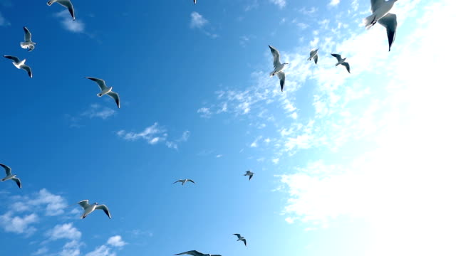 Seagulls Flying on Blue Sky Seagulls Flying on Blue Sky seagull stock videos & royalty-free footage