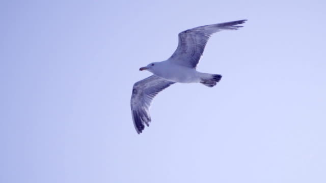 Seagulls flying - Slow Motion video