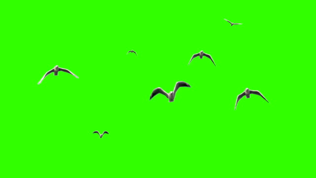 Seagulls on chroma key Flying seagulls in slow motion on green screen seagull stock videos & royalty-free footage