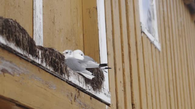 vídeos de stock, filmes e b-roll de gaivotas descansando no ninho - atobá