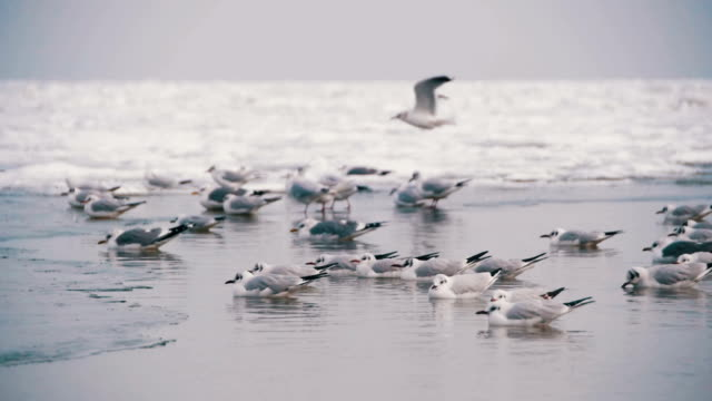 seagulls sitting on the frozen ice-covered sea in slow motion - sussex occidentale video stock e b–roll