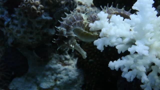 Seahorse video