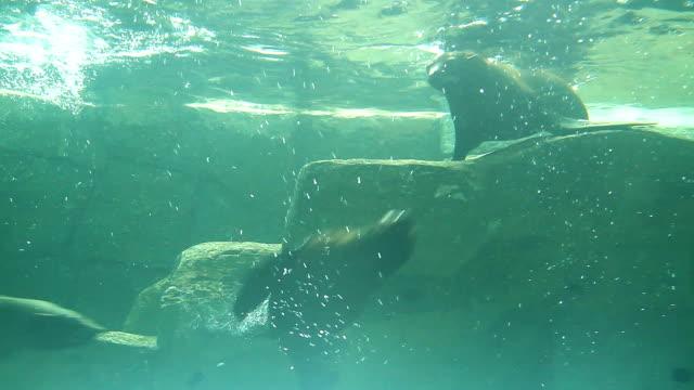 Seal Lion Seal lion playing joyfully. animal whisker stock videos & royalty-free footage