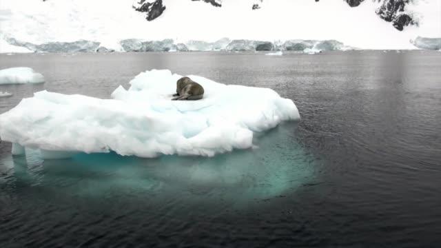 Zegel op Ice ijsschots in de oceaan van Antarctica. video