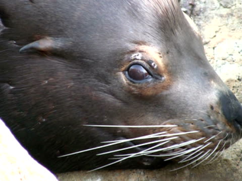 Sea-lion Seal Face, Close Up video