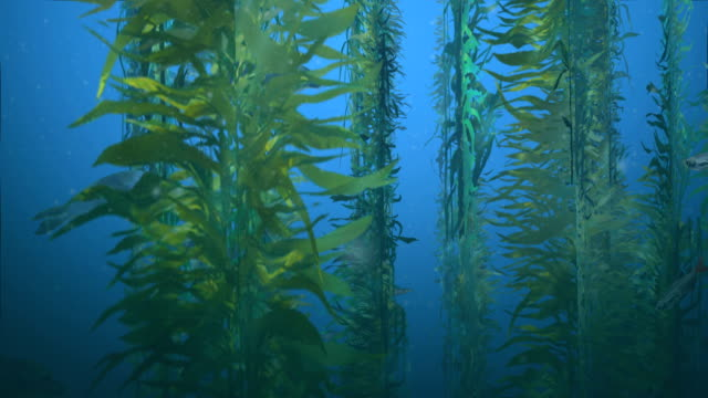 Seals in Kelp Forest Animation featuring a pod of seals swimming among the kelp in the ocean, with a school of small fish in the foreground, and barracuda in the background. kelp stock videos & royalty-free footage