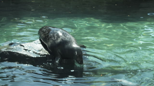 HD: Seals in Love Two seals kiss over the water. animal whisker stock videos & royalty-free footage