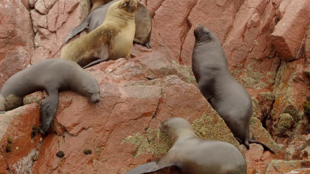 Seals Resting on Rocks, Ballestas Islands, Peru video