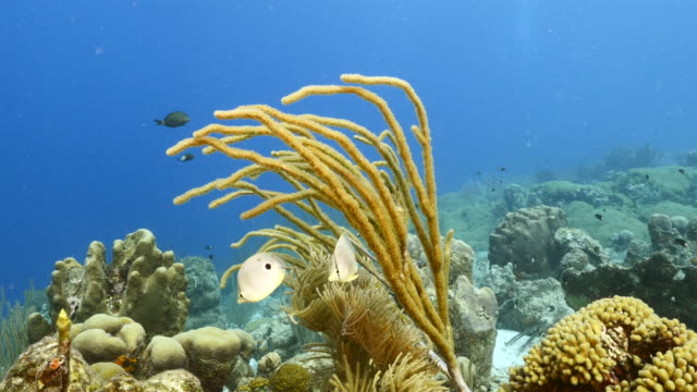 Seascape in coral reef of Caribbean Sea / Curacao with Foureye Butterflyfish, coral and sponge video