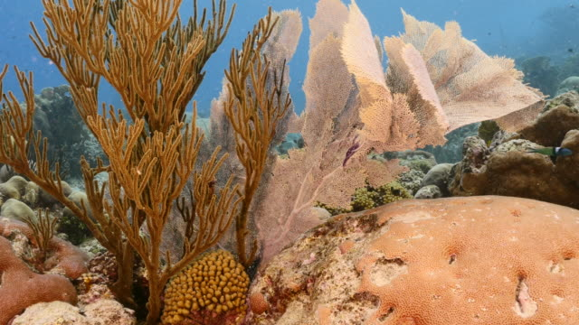 Seascape in coral reef of Caribbean Sea / Curacao with Sea Fan/Gorgonian Coral, fish, coral and sponge video
