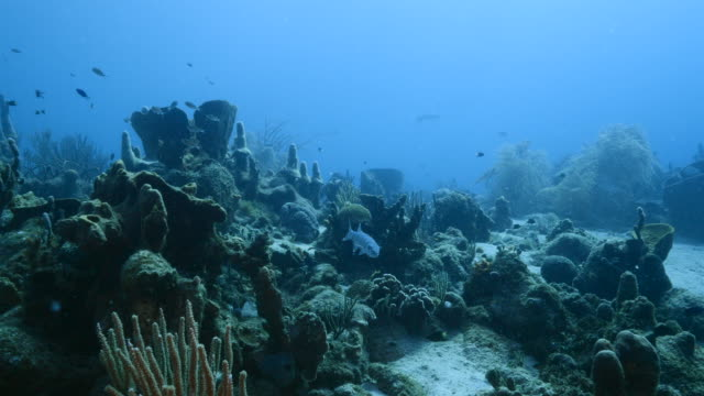 Seascape in turquoise water of coral reef in Caribbean Sea / Curacao with Barracuda, coral and sponge video
