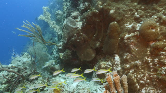 Seascape in turquoise water of coral reef in Caribbean Sea / Curacao with Yellowtail Snapper, coral and sponge video