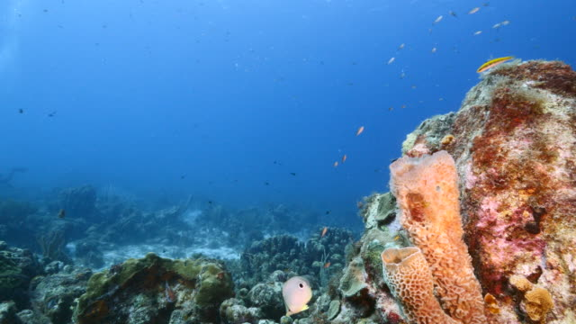 Seascape in turquoise water of coral reef in Caribbean Sea / Curacao with fish, coral and Vase Sponge video